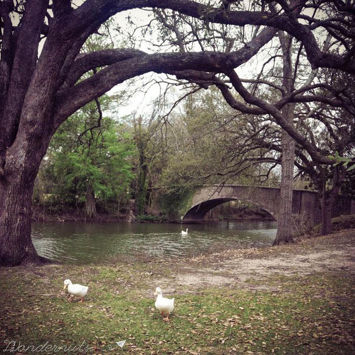 Audubon Park ducks