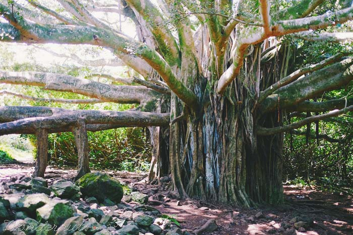 This banyan tree has roots for days.